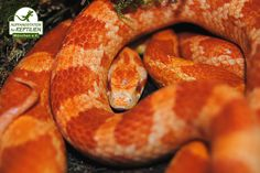 The most common animals in our centre are corn snakes...
