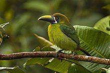 Blue-throated Toucanet - Panama H8O8999.jpg