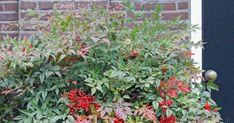 Een blog over tuinieren en tuinontwerpen Rotterdam Nandina Plant, Rotterdam, Gardening, Plants, Blog, Garten, Lawn And Garden, Planters, Garden