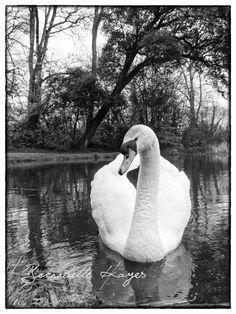 Swan in Doneraile April 2018 Professional Wedding Photography, Swan, Ireland, Park, Swans, Parks, Irish