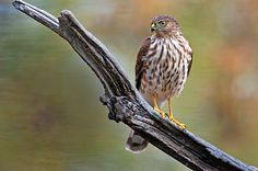 Sharp-shinned hawk - Learn about how and where to go hawk watching during this intriguing raptor migration.