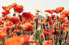 Carlsbad Flower Fields again... so wonderful. Will. Go. (via oh, hello friend: you are loved).