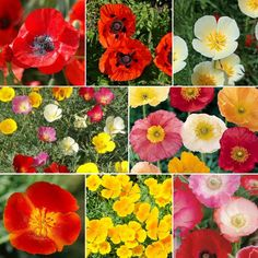 Shop for California Poppy Seeds and Mixes by the Ounce or by the Pound.Com offers Hundreds of Seed Varieties, Including the Finest and Freshest California Poppy Seed Mixes Anywhere. Growing Poppies, Planting Poppies, Poppy Flower Seeds, Seeds For Sale, Thing 1, California Poppy, Fall Plants, Garden Plants, Wildflower Seeds