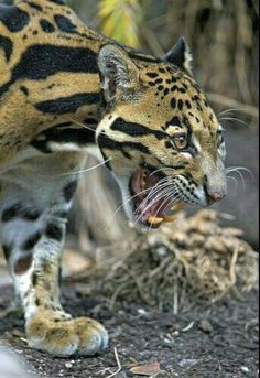 Clouded leopard with open mouth. These may be the smallest of the big cats, but it's fangs are the longest relative to skull size. Big Cats, Cats And Kittens, Cute Cats, Beautiful Cats, Animals Beautiful, Animals And Pets, Cute Animals, Gato Grande, Clouded Leopard