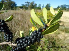 Flora Digital do Rio Grande do Sul e de Santa Catarina: Myrsine parvifolia. Nome popular:  capororoca, capororoca-do-banhado. Fotógrafo:  Marcio Verdi.