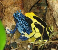 Dendrobates tinctorius (right) and Dendrobates azureus (left), Photo Credit: Wikimedia Commons, http://eol.org/data_objects/5875340