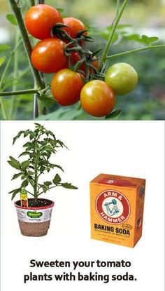 Sweeten your tomato plants by adding baking soda to the soil