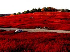 Maine Blueberry fields in Autumn. This is what my street looks like. <3