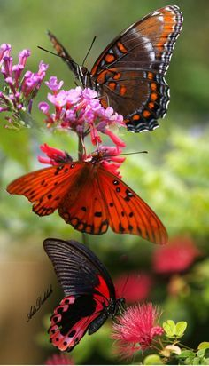 Red and black Butterfly Beauty Beautiful Bugs, Beautiful Butterflies, Amazing Nature, Beautiful Flowers, Beautiful Butterfly Pictures, Simply Beautiful, Butterfly Photos, Butterfly Wallpaper, Butterfly Flowers