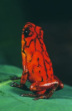 Arrow Poision Frog, Dendrobates histrionicus