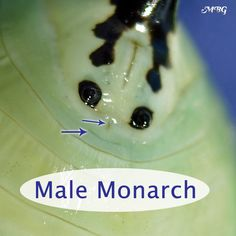 Do you know how to tell the difference between a male monarch butterfly and a female? Check out these Monarch Butterfly Pictures to see the differences. monarch butterfly Female or Male Monarch Butterfly? See the Differences.
