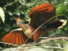Hoatzin (stink bird, from the fermentation of food in it's digestive system with 2 stomachs), ~ 26in long, has 2 claws on each wing - from the dinosaur era. So. America, Amazon.