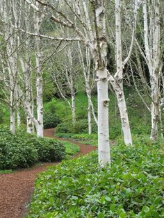 Beautiful weeping white birch | White Birch trees