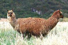 llama, optical illusions - Dump A Day Funny Animal Memes, Funny Animal Pictures, Funny Animals, Cute Animals, Animal Humor, Funny Optical Illusions, Optical Illusion Photos, Perfectly Timed Photos, Dump A Day