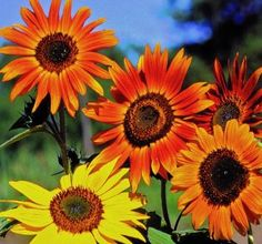 Seed Savers Exchange 0307 Organic, Open-pollinated Sunflower Seed, Autumn Beauty, 100 Seed Packet by Seed Savers Exchange