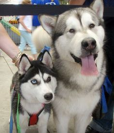 This picture is a good illustration of the differences between Malamutes and Huskies. Husky on the left, Malamute on the right. Malamutes never have blue eyes, for one thing.
