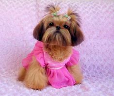 shih tzu all dressed up for pictures !!! how cute