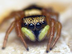 Scared Of Spiders, Spider Face, Itsy Bitsy Spider, Spider Bites, Jumping Spider, Bug Art, My Father's World, Beautiful Bugs, Bugs And Insects