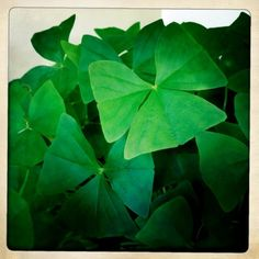 It's an Irish thing... my Mother in law gave me a little pot of hers and I kept them so easily:-) but my cats knocked my only shamrock plant onto my kithen floor.... but  no worries...so easy to cultivate!