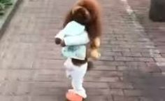 DouDou: Poodle in viral video walking on 2 legs cruel and not cute • Pet Rescue Report