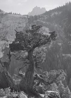 1936 Juniper Tree, Crags under Mt. Clark, Yosemite National Park by Ansel Adams
