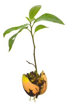 Avocado_Seedling Illustration -' Autopoietic Decentralized Autonomous Corporations (Defined as a self creating/self constructing decentralized autonomous corporation which is seeded by an instruction set, watered by crowd funding, and provided sunlight through community participation)' - by darklight via hplusmagazine.com ""