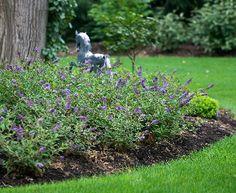 Proven Winners - 10 Great Landscape Plants - Lo & Behold 'Blue Chip' in Top Ten Lists and Shrubs Dwarf Butterfly Bush, Blue Butterfly, Landscape Design, Garden Design, Mediterranean Garden, Different Plants, Landscaping Plants, Luxury Landscaping, Ornamental Grasses