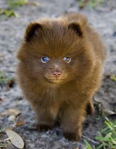 Learn About the Adorable Pomeranian Husky aka POMSKY - Dogable