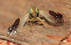 Una mosca de la fruta que siempre vuela con dos hormigas en sus alas La mosca de estas imágenes pertenece a la especie Goniurellia tridens....
