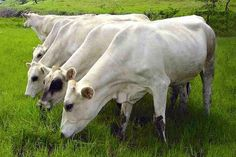 La raza Carora es el primer ganado lechero genuinamente adaptado al trópico. Por: Juan Carlos Giménez Ramírez La Raza bovina Carora, comenzó a originarse en las primeras décadas del siglo veinte, como consecuencia de ensayos de ganaderos venezolanos,