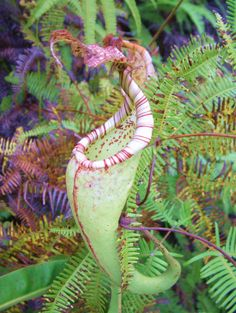 Nepenthes The Tropical Pitcher Plant thrives on insects like all carnivorous plants, however it has been repor ted that some larger Nepenthes pitchers contain the remnants of small reptiles, birds and an occasional monkey in their native jungle habitats!