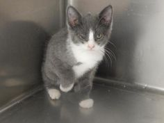 Safari - URGENT - PIKE COUNTY ANIMAL SHELTER in Pikeville, Kentucky - ADOPT OR FOSTER - Female KITTEN Domestic SH Mix