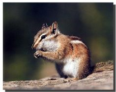 Chipmunk or Squirrel Eating Food Wall Decor Art Print Pos... https://www.amazon.com/dp/B00BFOY9TS/ref=cm_sw_r_pi_dp_x_3bK6xb8N3MA71