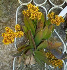 muda de lophiaris pumila (ex.oncidium pumilum) microorquidea