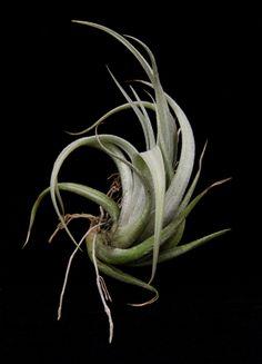 Plant Oddities-Tillandsia karwinskyana