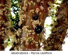 pé de jabuticaba - myrcia cauliflora