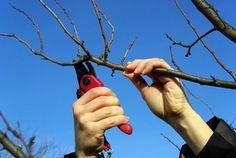 Taille des pommiers et poiriers L'hiver est la saison propice à la taille des arbres fruitiers à pépins comme le poirier ou le pommier. Si tailler n'est jamais indispensable, ça permet néanmoins de favoriser la croissance de l'arbre et la fructification des arbres fruitiers. En savoir plus sur http://www.jardiner-malin.fr/fiche/taille-pommier-poirier.html#mCjMIYjd968uH6PO.99