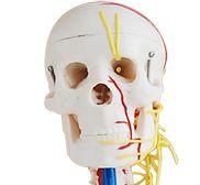 Skelett Modell Test