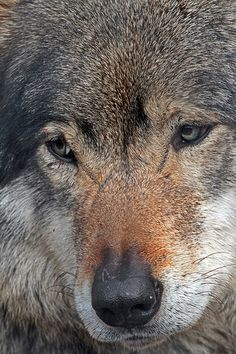 The European wolf(Canis lupus lupus), also known as the Common Gray wolf, was the first identified subspecies of the Gray wolf(Canis lupus). This one looks like he has been in a few fights.