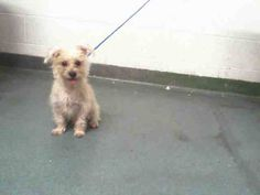 BELLA (A1648211) I am a female white Terrier.  The shelter staff think I am about 8 months old.  I was found as a stray and I may be available for adoption on 10/05/2014.