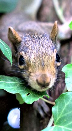 Young squirrel peeking through the foliage