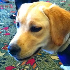 Wags, a (gorgeous) #diabetes assistance dog trained by www.powerpaws.org