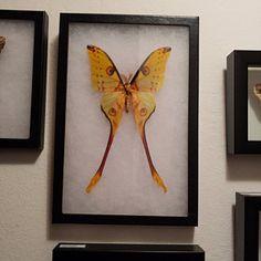 Argema mittrei male framed comet moth Madagascar | Etsy Giant Moth, Habitat Destruction, Third World Countries, Madagascar, Habitats, Moose Art, Things To Come, Frame, Artwork