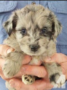 Miniature Australian Shepherd cross Toy Poodle - my dream dog