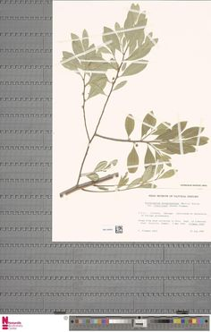 WAG.1930553 | Erythroxylum novogranatense (Morris) Hieron. var. truxillense (Rusby) Plowman