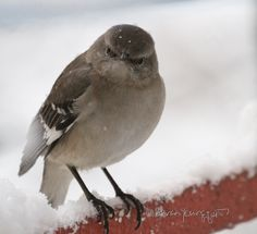This image was featured in my blog post @ http://www.thelastleafgardener.com/2017/02/question-of-day-is-some-one-going-to-be.html #Northern mockingbird #NYC #Urban Gardens #Snow