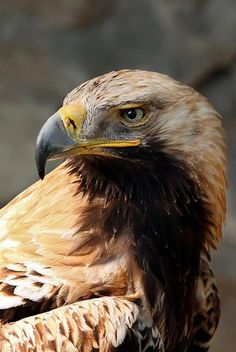 Albania is called the Land of Eagles, therefore the eagle is our national symbol, most precisely the Golden Eagle. It can be found mostly in the mountainous areas of Albania.