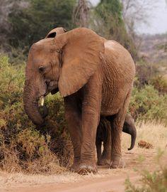 Wild elephant with her young. Samburu National Park, Kenya. By Jo-Anne McArthur