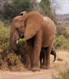 Wild elephant with her young. Samburu National Park, Kenya. By Jo-Anne McArthur
