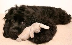 I have always wanted a Cocker Spaniel.they are soo adorable! Black Cocker Spaniel, American Cocker Spaniel, Cocker Spaniel Puppies, English Cocker Spaniel, Spaniel Dog, Buy Puppies, Cute Dogs And Puppies, Doggies, Cutest Dogs
